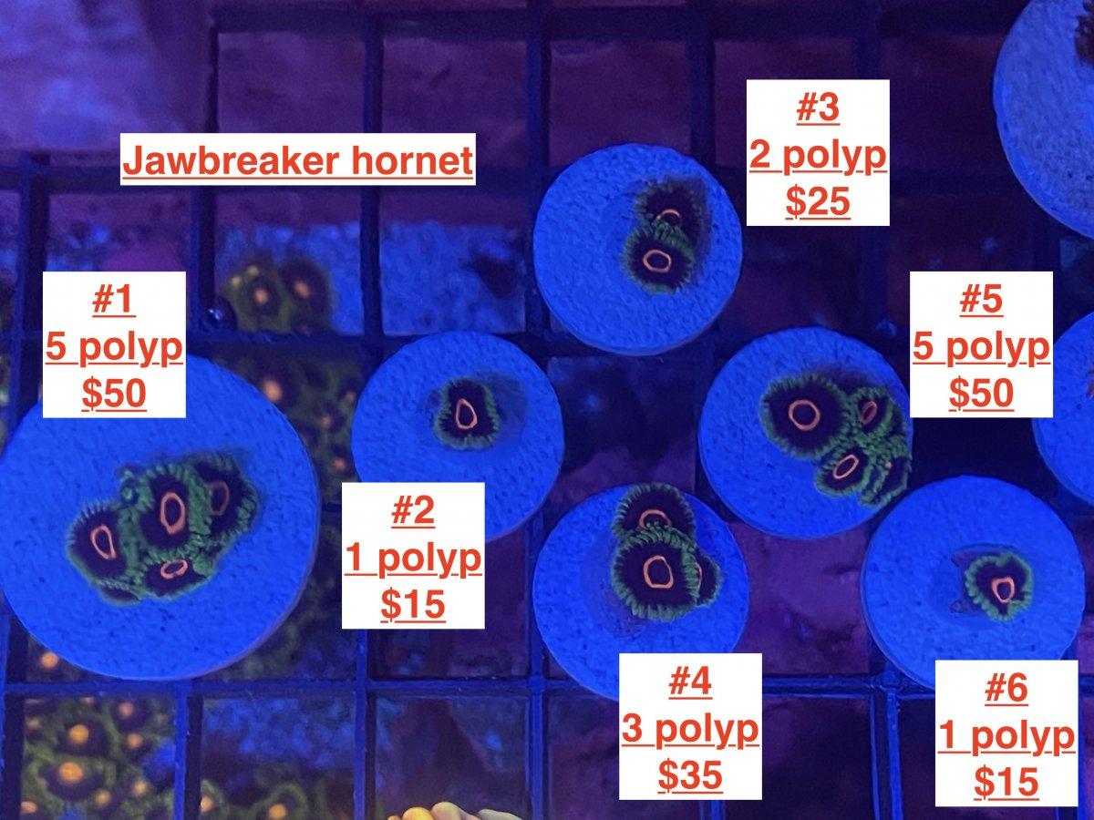 Jawbreaker hornet.JPG
