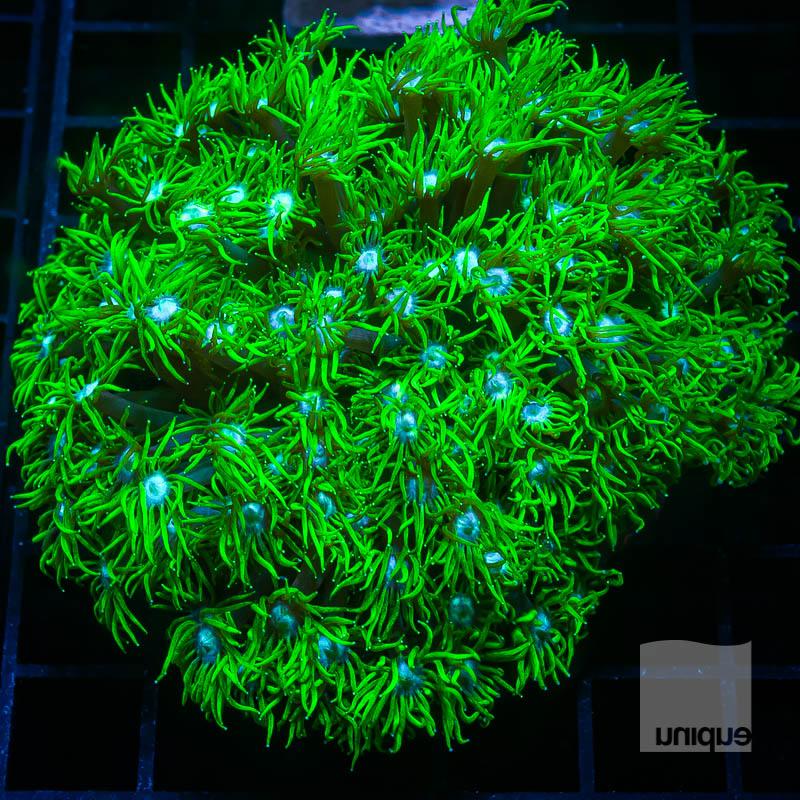 JJJ Aussie Green Goni 149 99.jpg