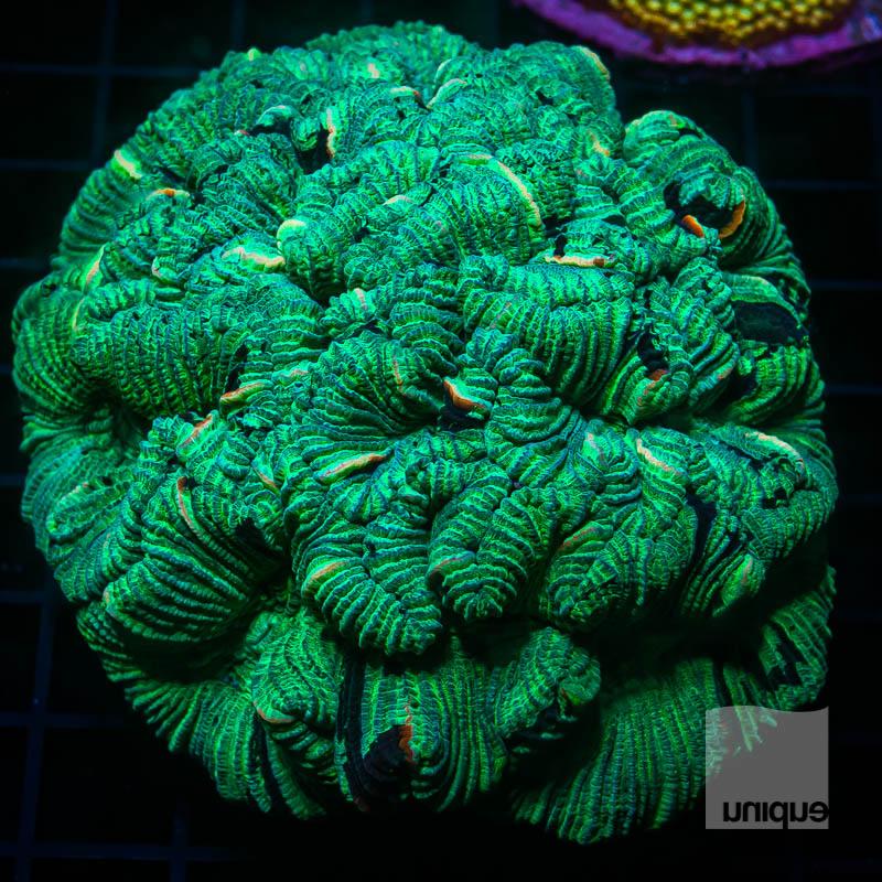 JJJ Green Trachyphyllia 199 149.jpg
