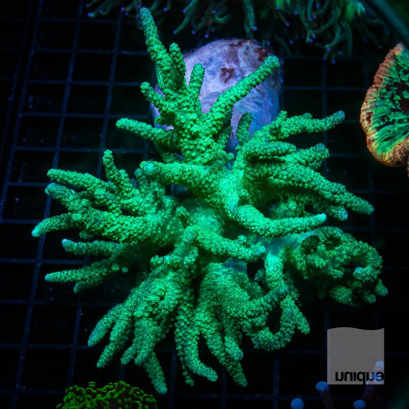 JJJ Neon Sinularia 139 99.jpg