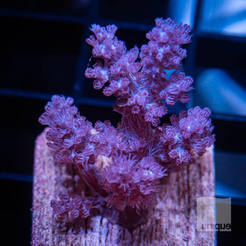 Koji Wada Pink Nepthea 99 69.jpg