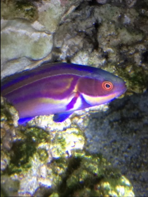 Labouts Fairy Wrasse.JPG