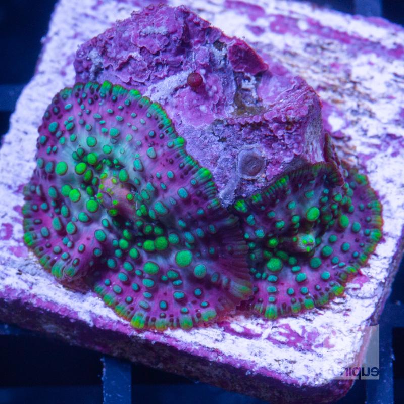 Lava Lamp mushrooms 38 22.jpg