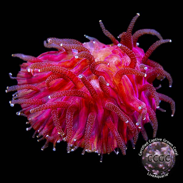 lg_Fuchsia_Pink_Lava_Coals.jpg