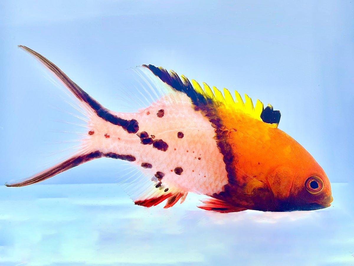 Lyretail Hogfish.jpg