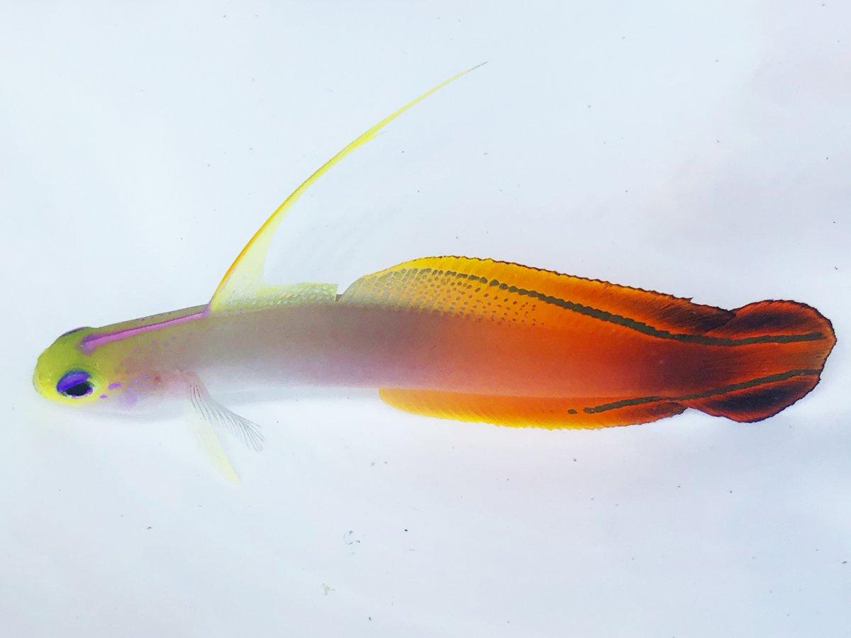 Mag Firefish.jpg