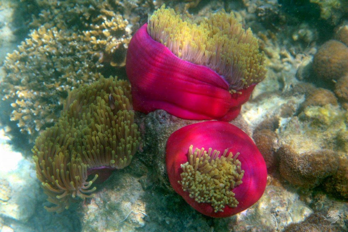 magnificent-sea-anemone-Heteractis-magnifica-Tanzania-diving13.jpg