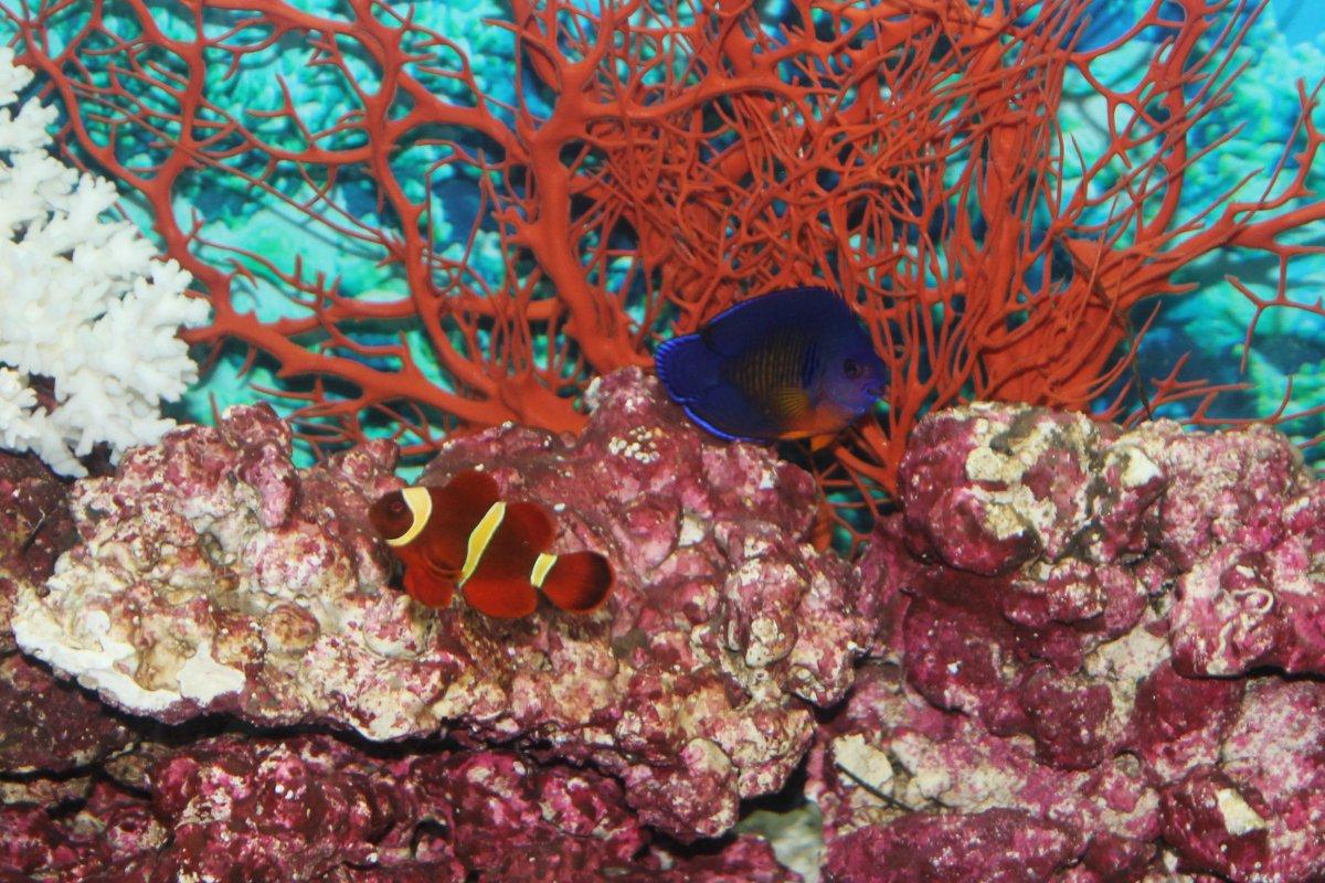 Maroon Clown & Coral Beauty.JPG