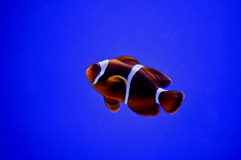 Maroon Clownfish.jpg