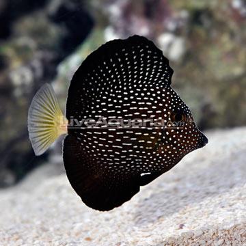 La mauritius gem tang gorgeous reef2reef saltwater for Tang saltwater fish