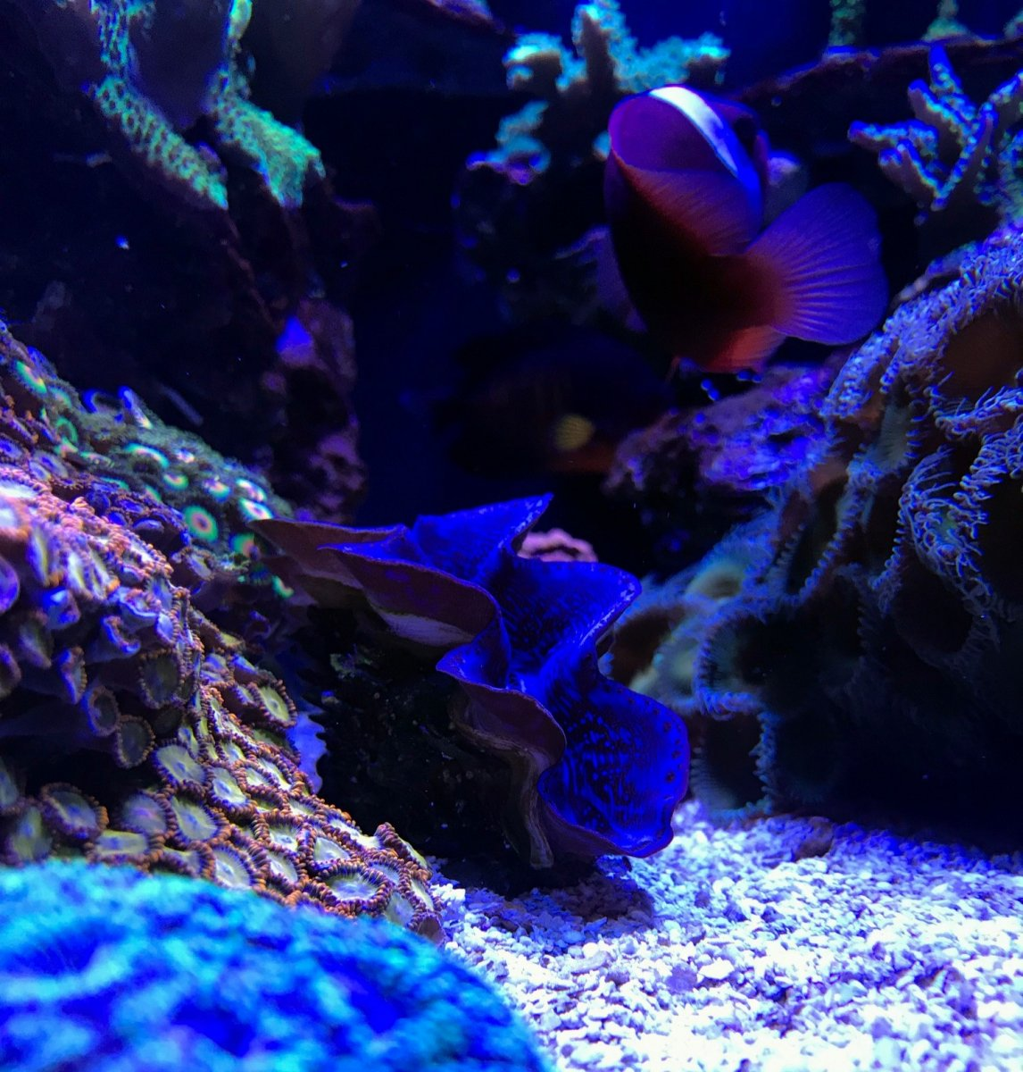 maxima clam 2.jpg