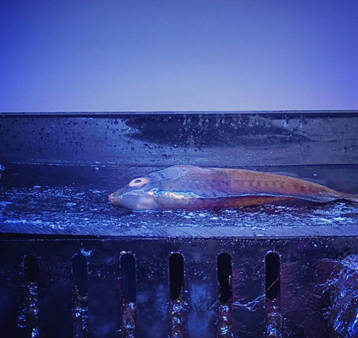 MetroKat NY fish.png