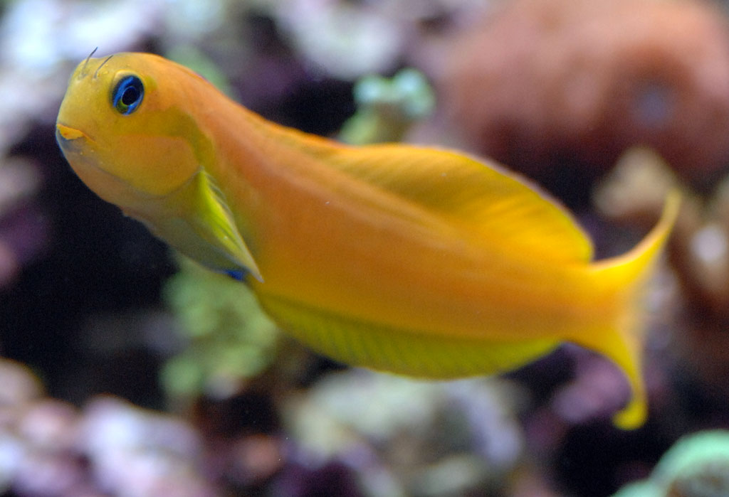 Image gallery midas blenny for Saltwater fish sale