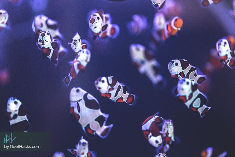 Mocha-Storm-Clownfish.jpg
