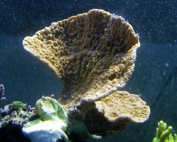 Montipora-crassituberculata1-kl.jpg