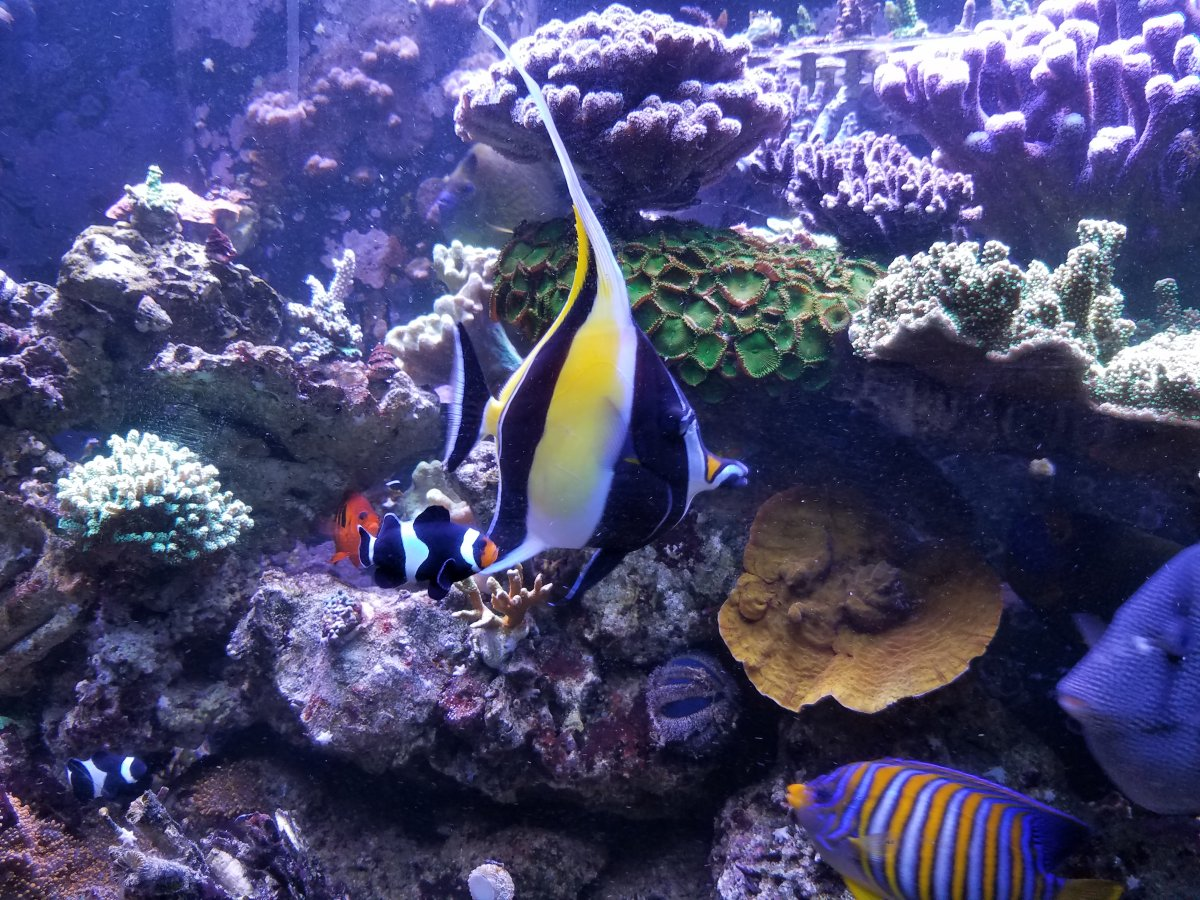 Moorish Idols Reef2reef Saltwater And Reef Aquarium Forum