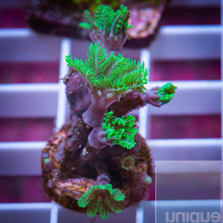 MS-Neon clove polyps 22 5 .jpg