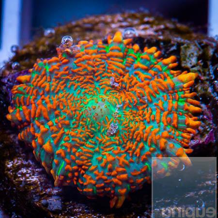 MS-ragin orange Rhodactis 69 32.jpg