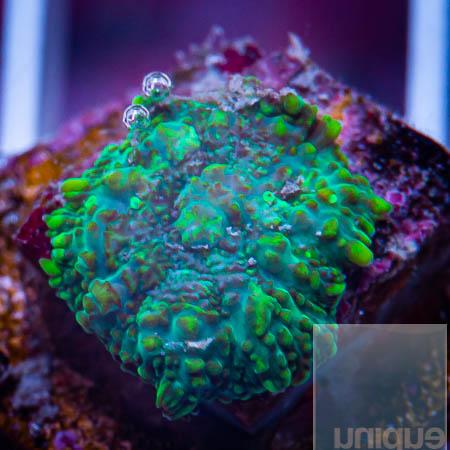 MS-Rhodactis mushroom 39 13.jpg