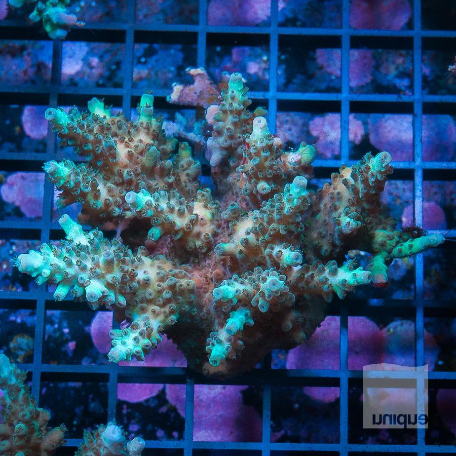 MS-ultra indo mini colony 239 179.jpg