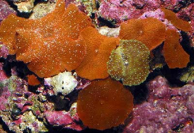 mushroom coral.jpg