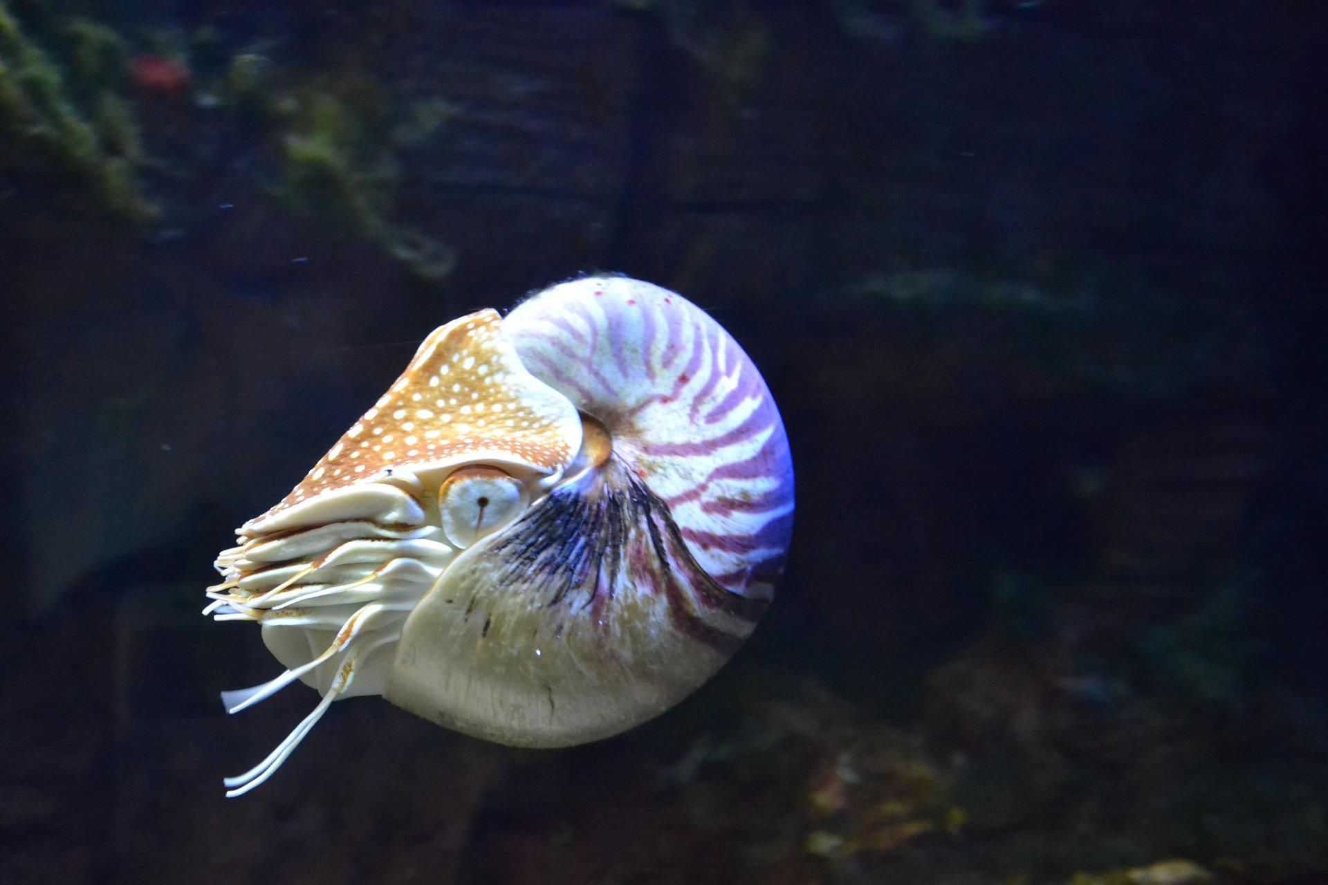 nautilus-1633615_1920.jpg