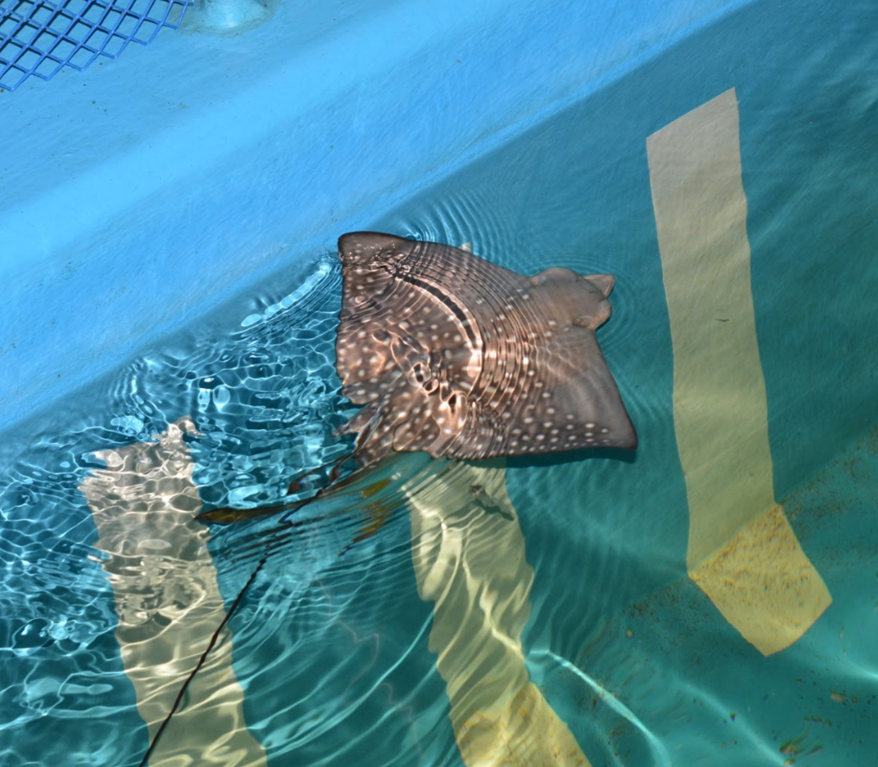 Ocellated eagle ray.jpg
