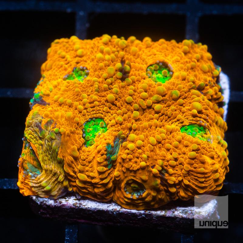Orange Echinata 82 49.jpg