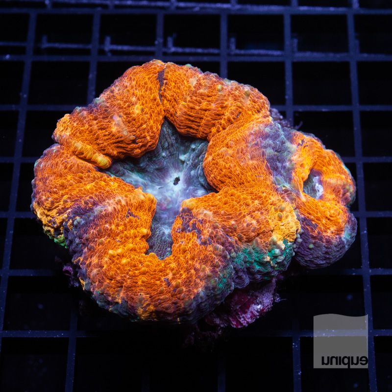 Orange lobo 149 99.jpg