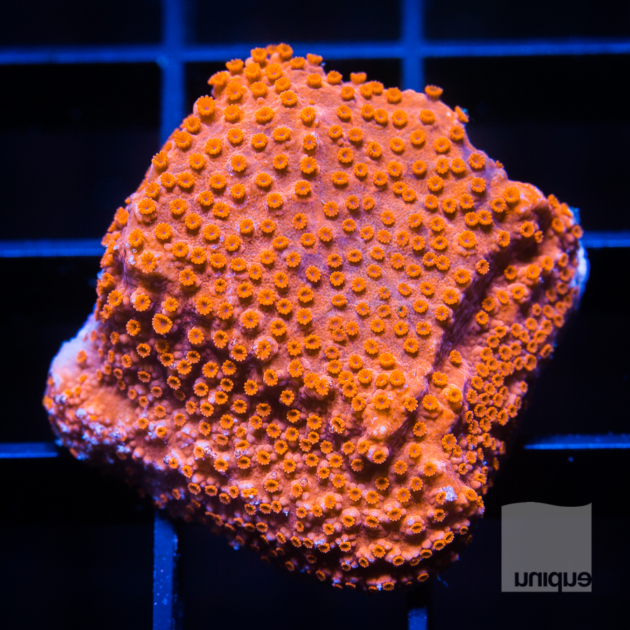 orange monti 38 22.jpg