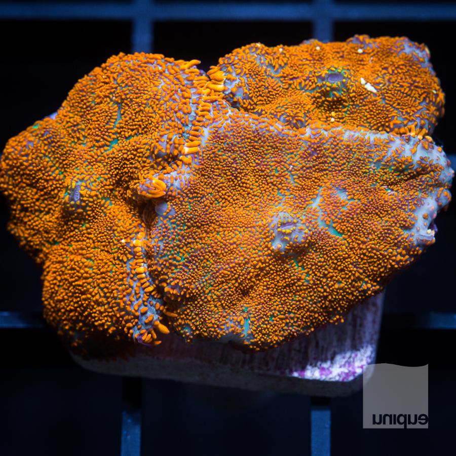 orange mushrooms 128 88.jpg