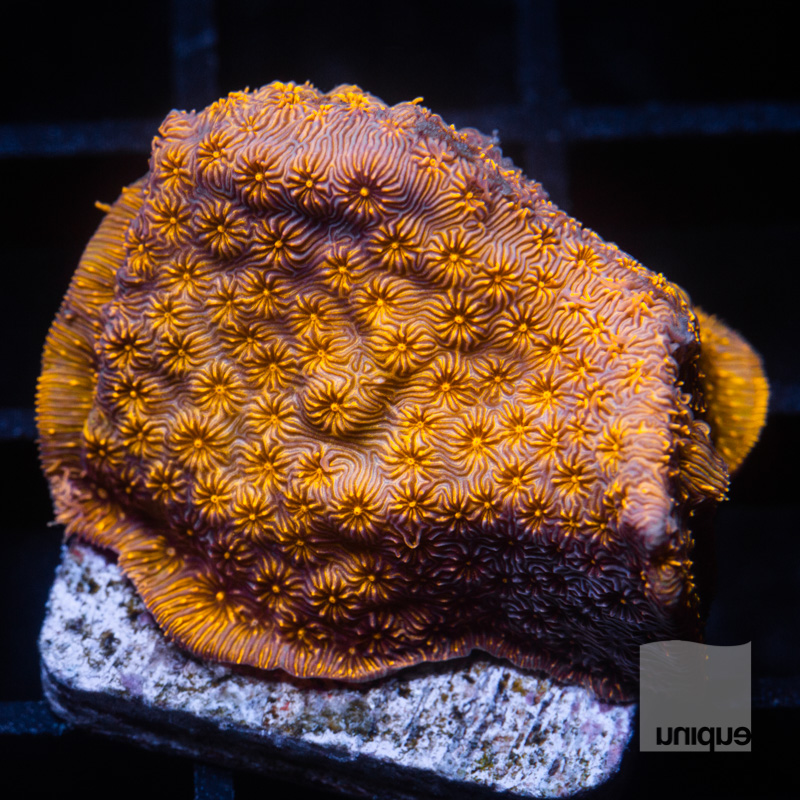 Orange Pavona 39 21.jpg