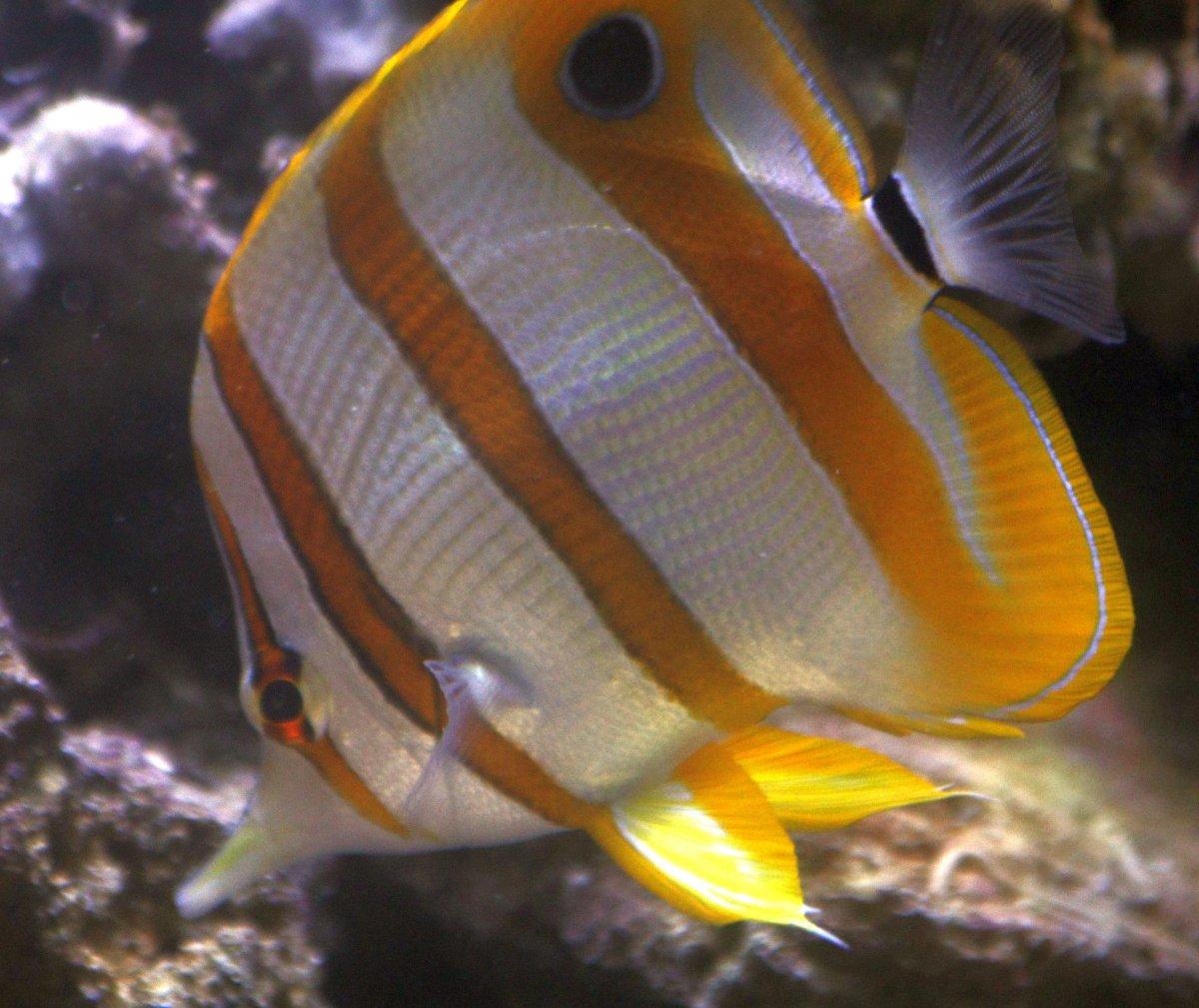 ourbutterflyfish-10-12-2018.jpg