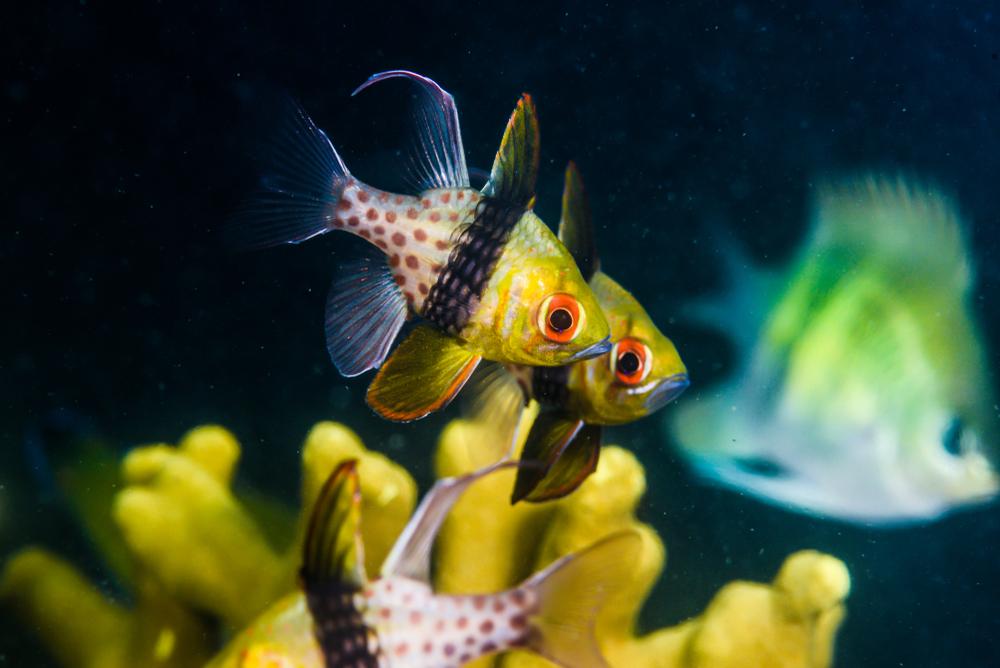Pajama Cardinalfish 3.jpg