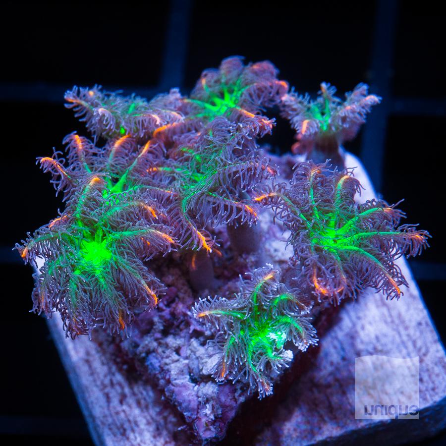 papaya clove polyps 44 32.jpg