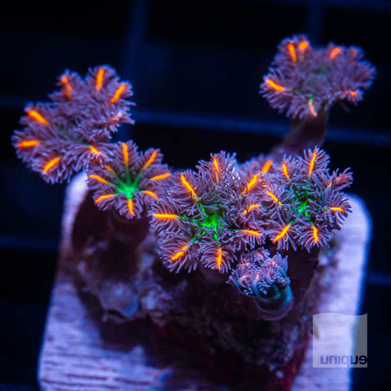 Papaya Clove Polyps 49 34.jpg