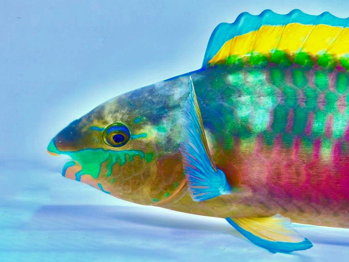 Parrotfish 1.jpg