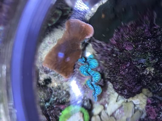 PEA Blue clam.JPG