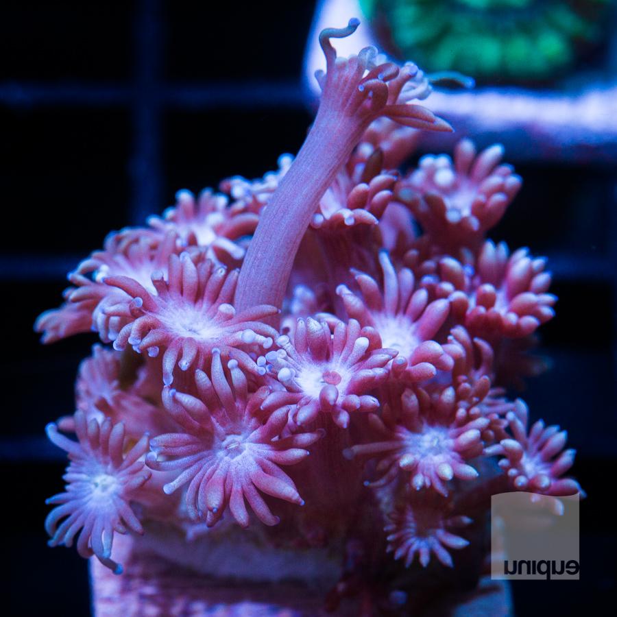 pepto pink Goni 68 44.jpg