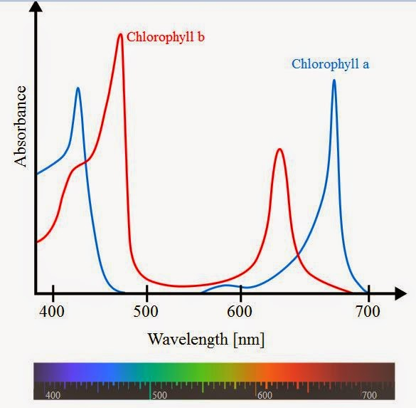 Photosynthetic action spectrum.JPG