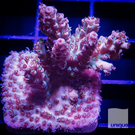 pink microlados 62 42.jpg