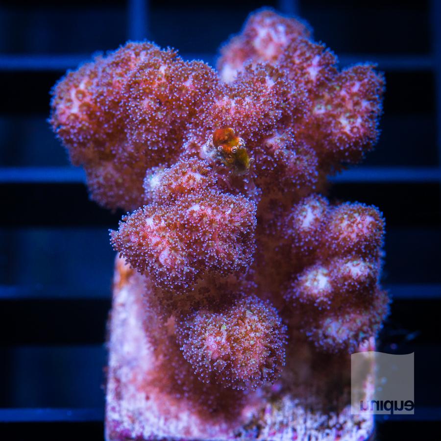 pink pocillopora 39 22.jpg