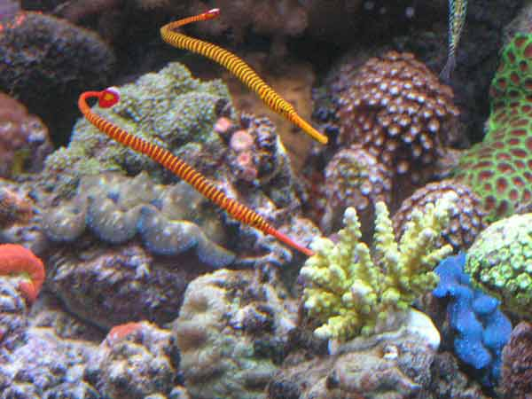 Reef Aquarium Fact #268 Pipefish need a species only tank ...