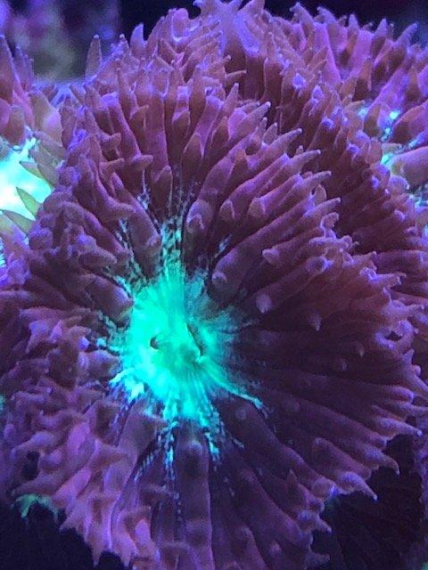 purple blue blasto.jpg
