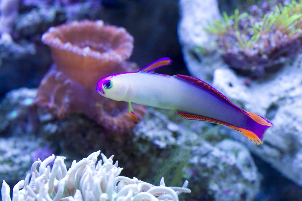 Purple Firefish Goby.jpg