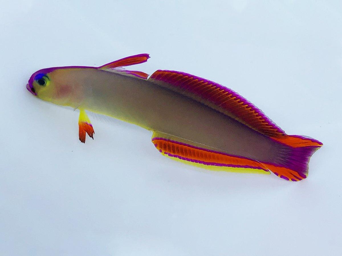 Purple Firefish.jpg