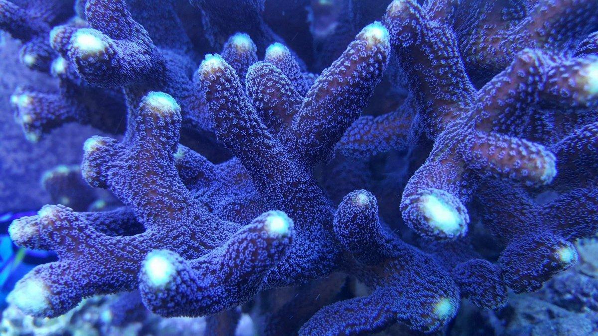 Purple Stylophora.jpg
