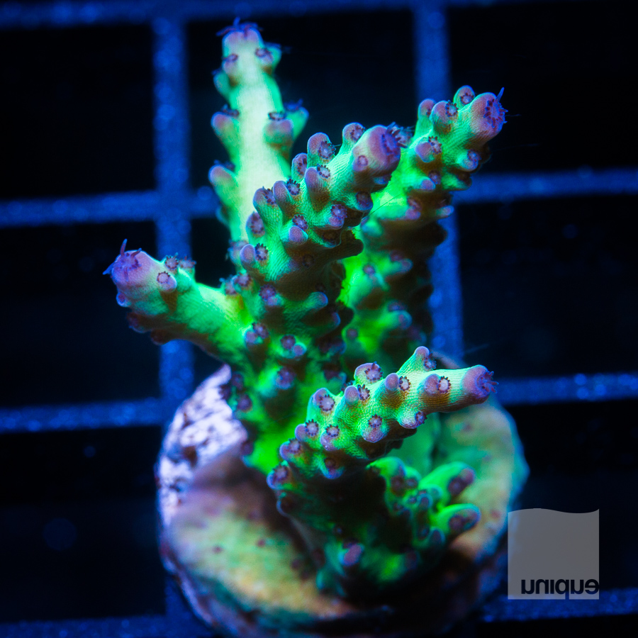 purple tip acro 44 24.jpg