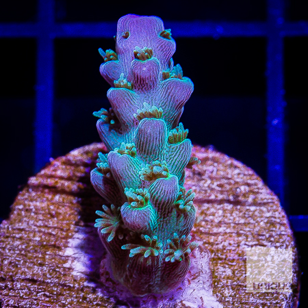 purple tip acropora 49 29.jpg