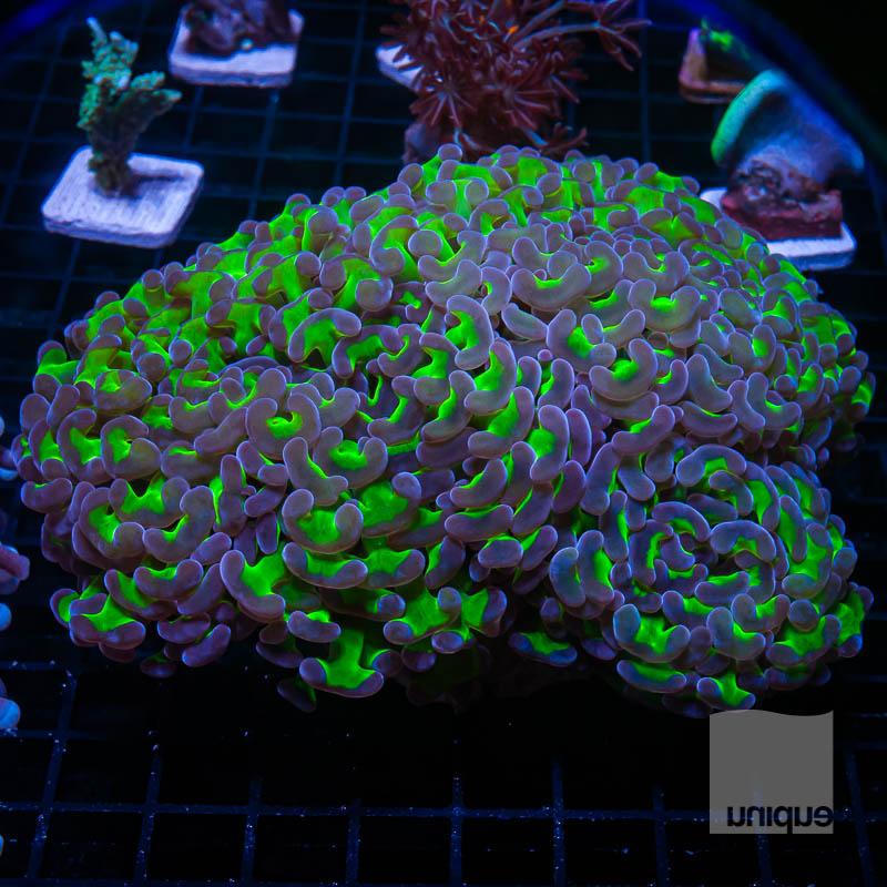 Purple Tip Hammer Colony 339 259.jpg